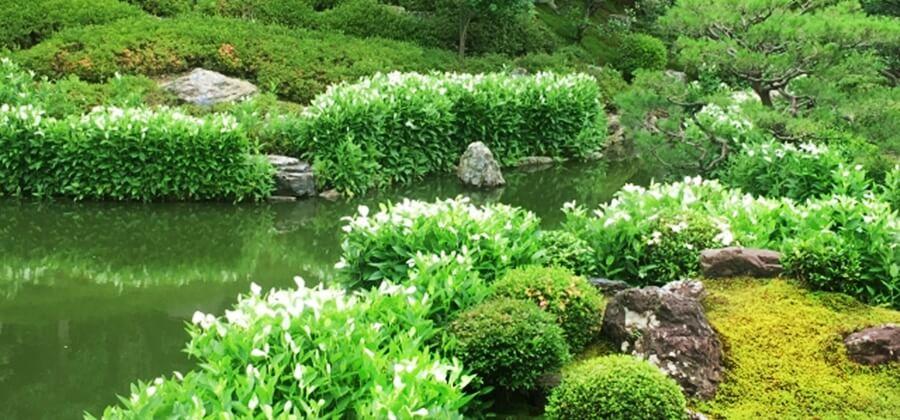 京都の蒸し暑い梅雨の時期に着物で見たい半夏生が有名なスポット