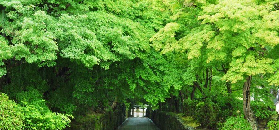 雨に濡れる青紅葉が絶景!レンタル着物で行きたい京都の青紅葉のスポット