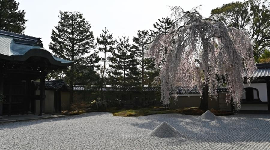 高台寺のシダレザクラ