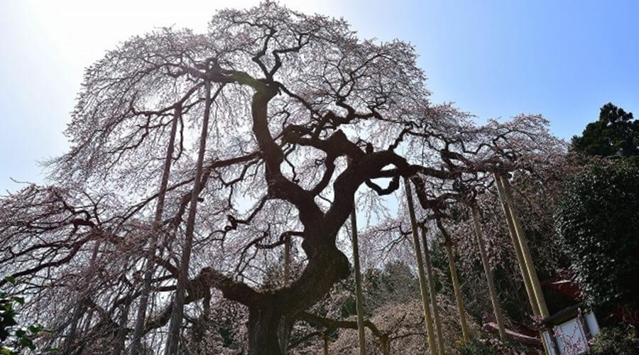 円山公園シダレザクラ